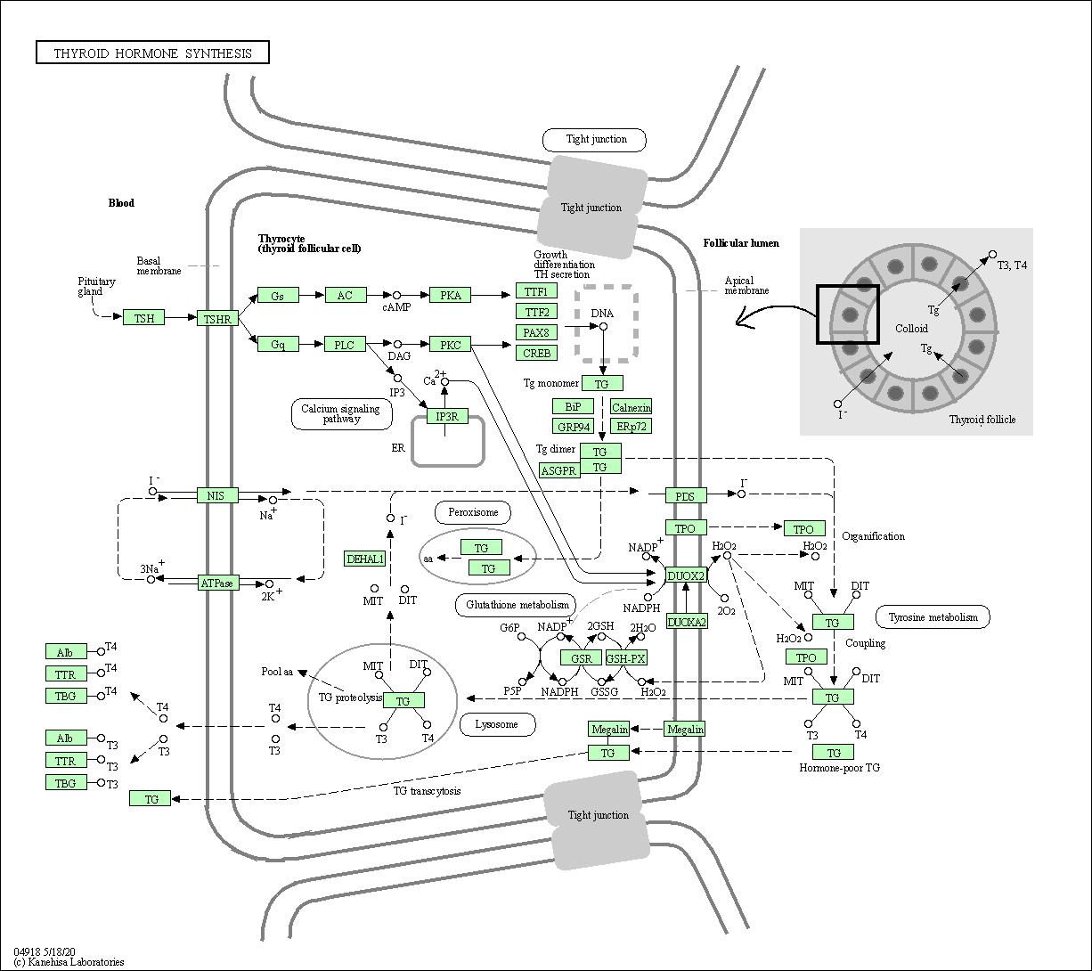 Kegg Pathway Thyroid Hormone Synthesis Homo Sapiens Human